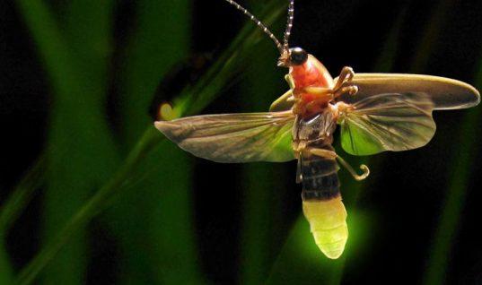 Utilizan proceso natural de luciérnagas para evaluar anticancerígenos