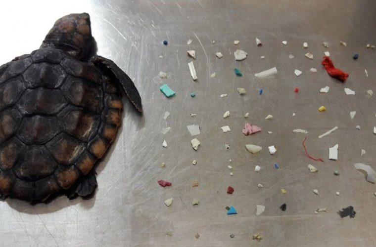 Muere tortuga tras tener 104 pedazos de plástico en su cuerpo